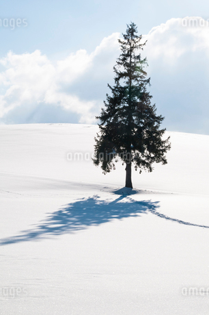 雪原に立つマツの木の写真素材 [FYI03814931]