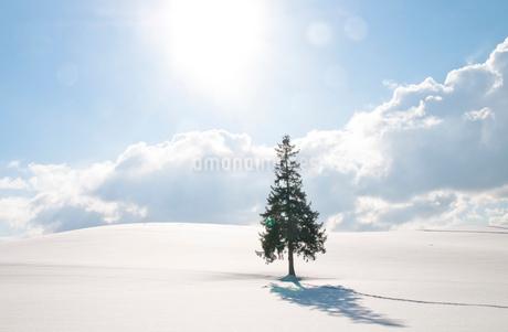 雪原に立つマツの木の写真素材 [FYI03814932]