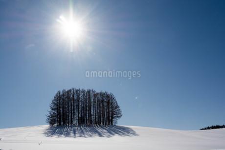 冬のカラマツ林と青空の写真素材 [FYI03814950]