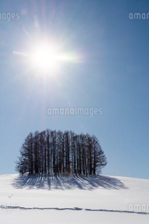 冬のカラマツ林と青空の写真素材 [FYI03814951]