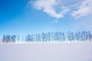 冬の白樺並木と青空の写真素材 [FYI03814955]