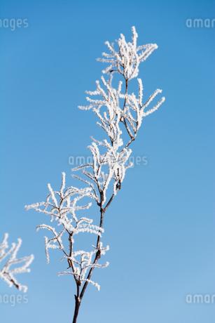 冬の寒い朝の木の枝の霧氷の写真素材 [FYI03814961]