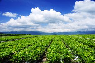 原村高原セロリ畑と空の写真素材 [FYI03815011]