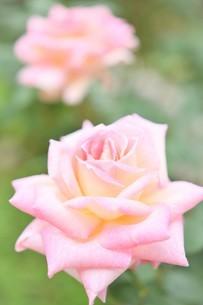 ピンクの薔薇の花の写真素材 [FYI03815074]