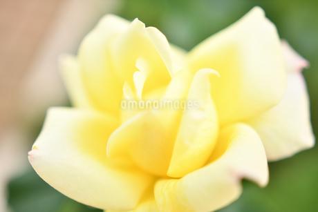 黄色いバラの花の写真素材 [FYI03815075]