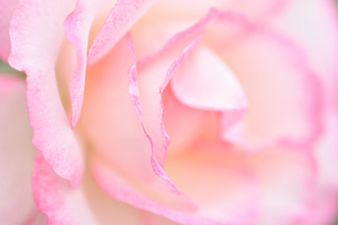 ピンクの薔薇の花の写真素材 [FYI03815076]