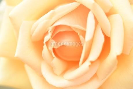 黄色いバラの花の写真素材 [FYI03815077]