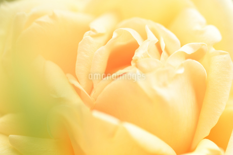 黄色いバラの花の写真素材 [FYI03815078]