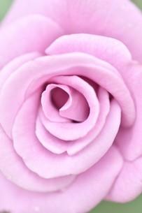 紫の薔薇の花の写真素材 [FYI03815079]