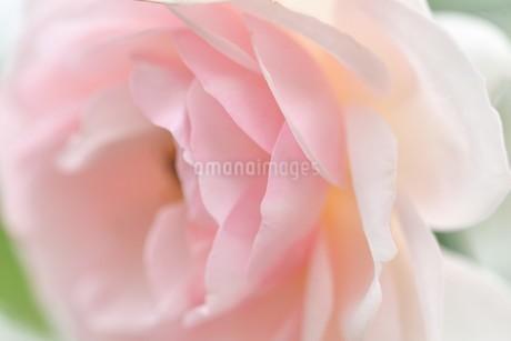 ピンクの薔薇の花の写真素材 [FYI03815080]