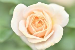 ピンクの薔薇の花の写真素材 [FYI03815082]