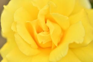 黄色いバラの花の写真素材 [FYI03815083]