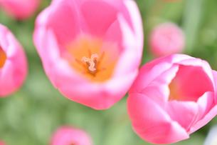 冬咲きのチューリップの写真素材 [FYI03815085]