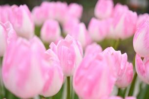 冬咲きのチューリップの写真素材 [FYI03815087]