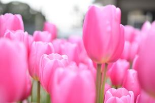 冬咲きのチューリップの写真素材 [FYI03815088]