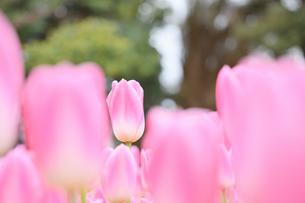 冬咲きのチューリップの写真素材 [FYI03815089]