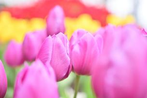 冬咲きのチューリップの写真素材 [FYI03815090]