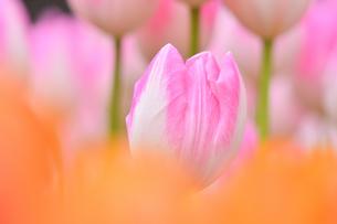 冬咲きのチューリップの写真素材 [FYI03815092]
