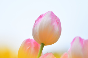 冬咲きのチューリップの写真素材 [FYI03815093]
