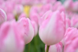 冬咲きのチューリップの写真素材 [FYI03815095]