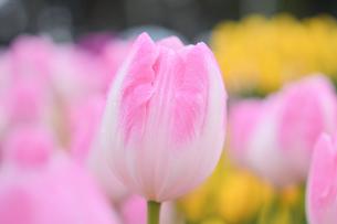 冬咲きのチューリップの写真素材 [FYI03815096]