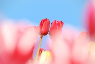 冬咲きのチューリップの写真素材 [FYI03815098]