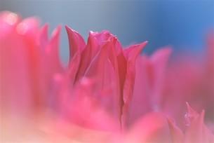 冬咲きのチューリップの写真素材 [FYI03815099]
