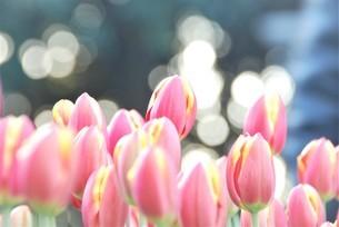 冬咲きのチューリップの写真素材 [FYI03815101]