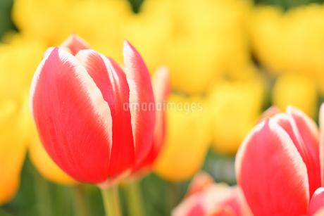 冬咲きのチューリップの写真素材 [FYI03815104]