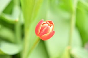 冬咲きのチューリップの写真素材 [FYI03815108]