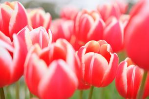 冬咲きのチューリップの写真素材 [FYI03815109]