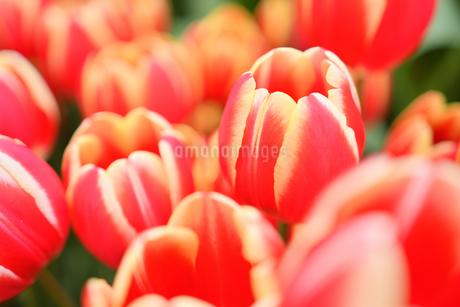 冬咲きのチューリップの写真素材 [FYI03815110]