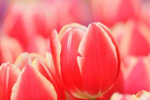 冬咲きのチューリップの写真素材 [FYI03815111]