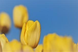 冬咲きの黄色いチューリップの写真素材 [FYI03815113]