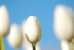 冬咲きのチューリップの写真素材 [FYI03815114]