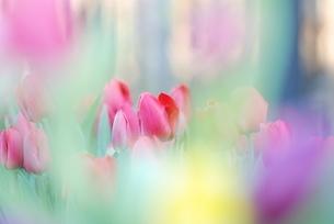 冬咲きのチューリップの写真素材 [FYI03815115]