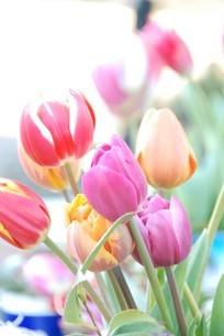 冬咲きのチューリップの写真素材 [FYI03815116]