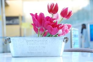 冬咲きのチューリップの写真素材 [FYI03815117]