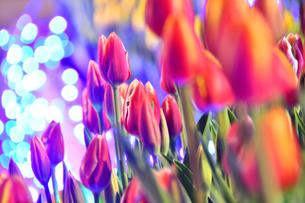 冬咲きのチューリップとイルミネーションの写真素材 [FYI03815125]