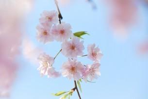 河津桜の写真素材 [FYI03815129]