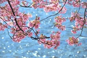 河津桜の写真素材 [FYI03815130]