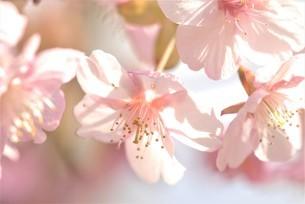 河津桜の写真素材 [FYI03815131]