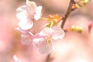 河津桜の写真素材 [FYI03815132]