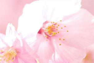 河津桜の写真素材 [FYI03815134]