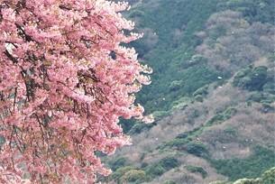 河津桜の写真素材 [FYI03815137]