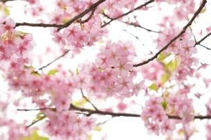 河津桜の写真素材 [FYI03815138]