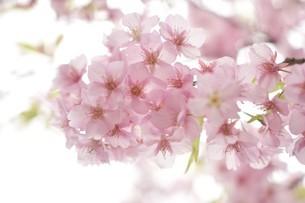 河津桜の写真素材 [FYI03815139]