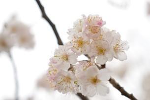 河津桜の写真素材 [FYI03815140]