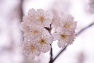 河津桜の写真素材 [FYI03815141]