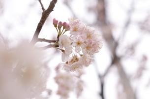 河津桜の写真素材 [FYI03815142]